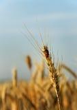 Oreille de blé Image stock