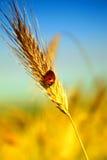 Oreille de blé Photographie stock libre de droits