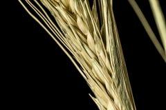 Oreille 1 de blé Photo stock