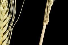 Oreille 3 de blé Photos stock