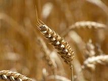Oreille de blé dans le domaine Photographie stock