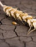 Oreille de blé et une texture sur la terre en friche Photos libres de droits