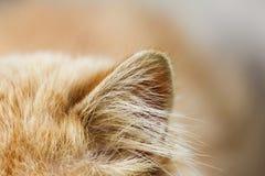 Oreille de chat rouge Macro Image libre de droits