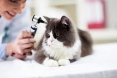 Oreille de examen vétérinaire de chaton avec l'otoscope Image libre de droits