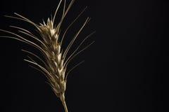 Oreille de plan rapproché de blé Image stock