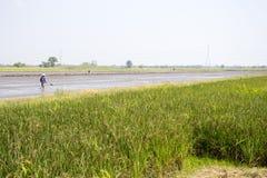 Oreille de riz non-décortiqué Photographie stock