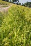 Oreille de riz non-décortiqué Photographie stock libre de droits