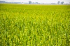 Oreille de riz non-décortiqué Images stock