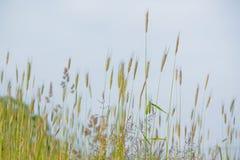 Oreille de Rye photo stock