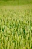 Oreille de Rye photos libres de droits