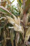 Oreille mûre de maïs dans le domaine de maïs agricole cultivé prêt pour la récolte image libre de droits