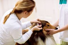 Oreille malade de contrôle vétérinaire au chien malade avec l'otoscope Photos stock