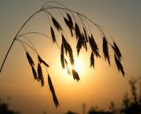 Oreille sur le fond du coucher du soleil Images libres de droits