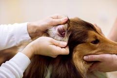 Oreille vétérinaire du ` s de chien de contrôle à la clinique d'animal familier Image stock