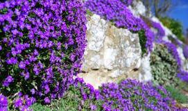 Oreiller bleu de floraison sur le mur de jardin Images libres de droits