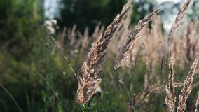 Oreilles d'or balançant dans le vent d'été clips vidéos
