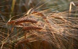 Oreilles d'or d'orge Photo libre de droits