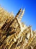 Oreilles d'or de blé - avant la moisson Photo libre de droits