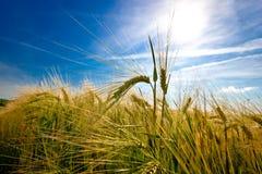 Oreilles d'or de blé sur la lumière du soleil image stock