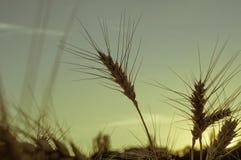 Oreilles d'or de fin de blé sur un fond de coucher du soleil et d'une tache floue Photographie stock