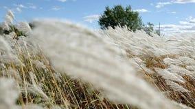 Oreilles d'herbe jaune sur le fond de la forêt d'automne et du ciel bleu banque de vidéos