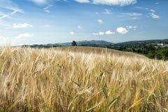 Oreilles d'orge contre le ciel bleu et le champ Image stock