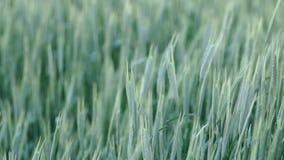 Oreilles de balancement de blé dans le vent banque de vidéos