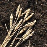 Oreilles de blé Images stock