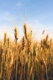Oreilles de blé Photos stock