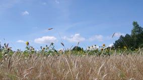 Oreilles de blé banque de vidéos