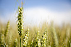 Oreilles de blé Photographie stock