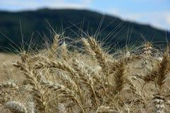 Oreilles de blé Photo stock