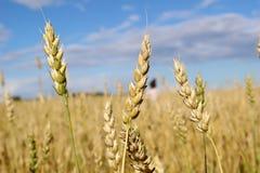 Oreilles de blé au ciel bleu Images stock
