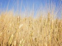 Oreilles de blé contre le ciel bleu Image libre de droits
