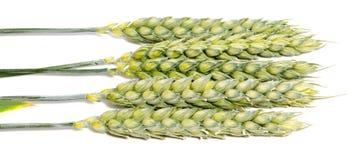 Oreilles de blé d'isolement sur le fond blanc comme design d'emballage Photo stock