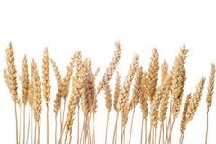 Oreilles de blé d'isolement sur un fond blanc Photographie stock