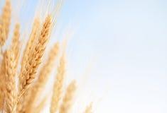 Oreilles de blé dans la ferme Photo stock