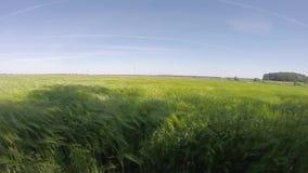 Oreilles de blé dans le vent dans le MOIS lent, banque de vidéos
