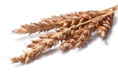 Oreilles de blé (espèces de triticum), chemins de coupure photo stock