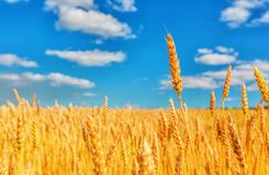 Oreilles de blé et ciel nuageux images stock