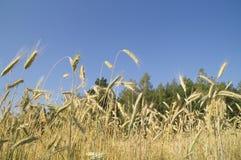 Oreilles de blé mûr sur un fond de ciel bleu Images libres de droits
