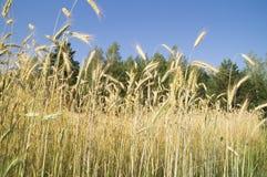 Oreilles de blé mûr sur un fond de ciel bleu Images stock