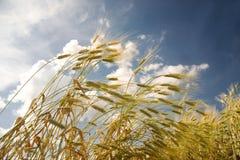 Oreilles de blé s'élevant sur le champ Images stock