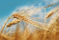 Oreilles de blé sous la fin de ciel bleu  photo stock
