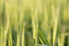 Oreilles de blé sur la nature Images stock