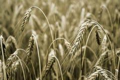 Oreilles de blé sur la zone Photographie stock