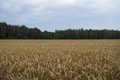 Oreilles de blé sur la zone Image stock