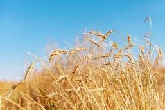 Oreilles de blé sur le fond de ciel bleu images stock