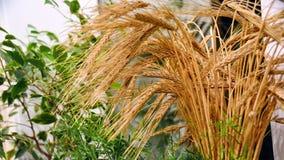 Oreilles de blé sur le fond des feuilles vertes de l'herbe image libre de droits