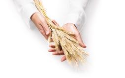 Oreilles de blé dans des mains de l'homme Photographie stock